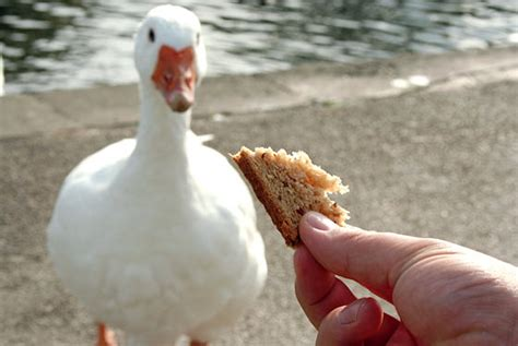 bird myths bread is a healthy snack for birds into the air