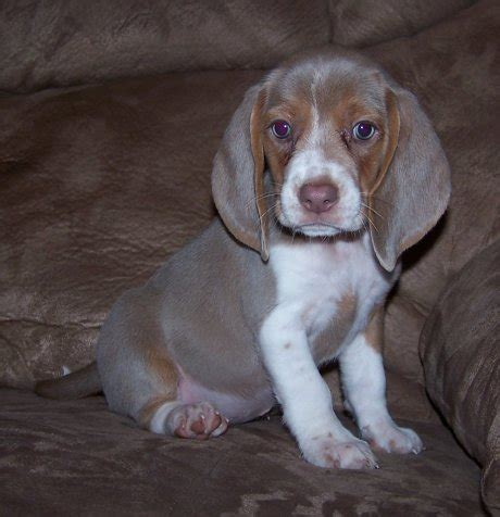 blue beagle puppies image gallery lilac beagle