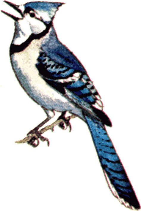 blue jay clipart many interesting cliparts