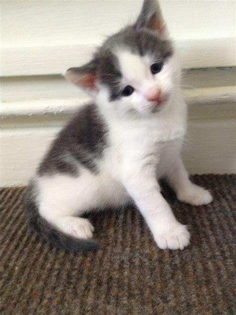 Gorgeous Tom Kitten, Grey and White. Ready to go!!   St