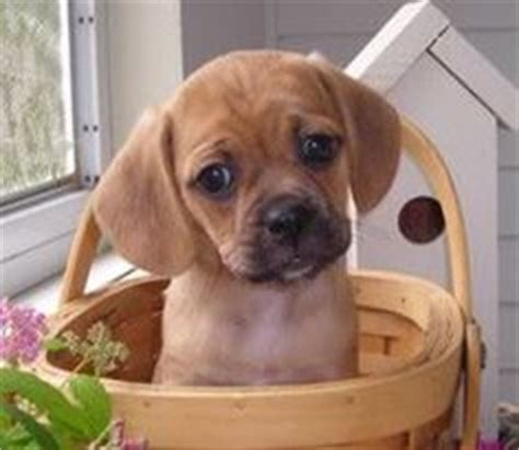 are beagles good house dogs 1000 images about puggles pug beagle on pinterest puggle puppies beagles and pug