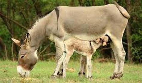 allevamento animali da cortile animali da allevamento in italia sono 130 le razze a