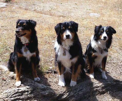 herding dogs beg guide herding dogs shepherd club