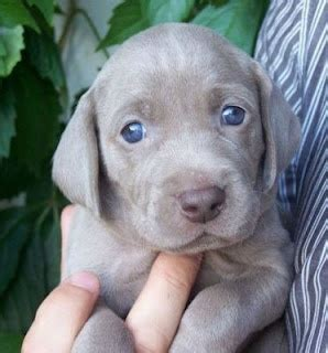 grey puppy with blue a grey lab with blue is the ultimate oh happy day blue