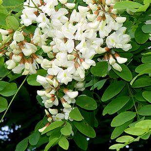 fiori acacia iinviare un fiore di acacia a domicilio leggende sull acacia
