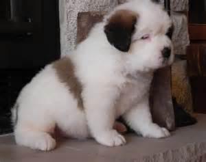 Cute saint bernard puppies for sale al nakheel pt48779