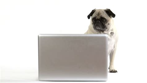 pug computer screen a pug looks at the screen of a laptop computer stock footage 6223589