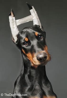 rottweiler with cropped ears ear cropping and effects thedogpress