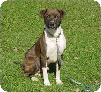 bernese mountain mn angus adopted mn bernese mountain german shorthaired pointer mix