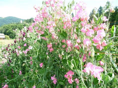 fiore piselli odorosi pisello odoroso piante annuali pisello odoroso specie