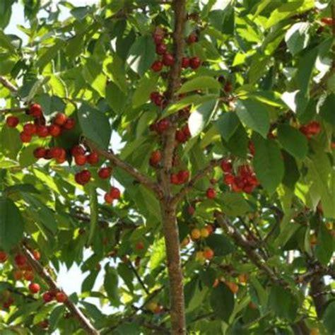 sweet cherry trees from stark bro s sweet cherry trees