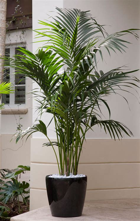 while not a palm this showy plant has large bright green elegant palms for every setting costa farms