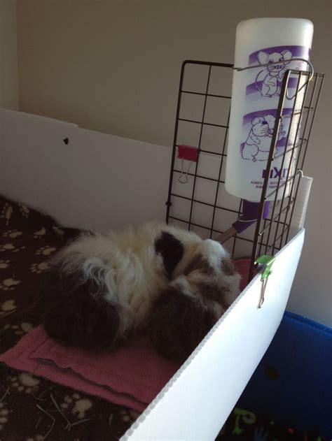 guinea pig bedding ideas mom and baby dot guinea pig ideas for bedding toys food growing
