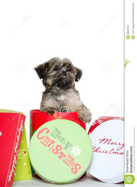 puppies in a box shih tzu shih tzu puppy in box royalty free stock photo image 28646735