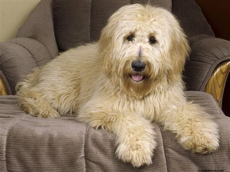 goldendoodle puppy personality goldendoodle puppies rescue pictures information