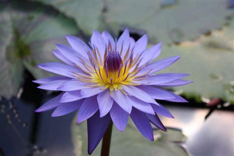 Tanaman Jadi Bunga Teratai Putih alam mengembang jadi guru tanaman tanaman sedatif