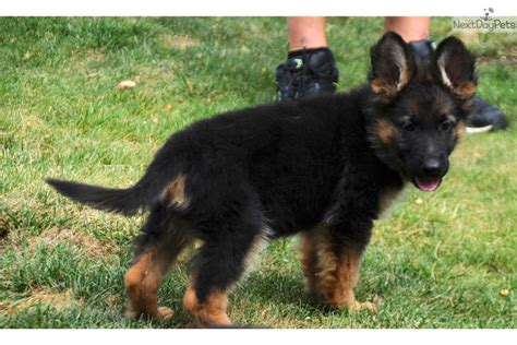 german shepherd puppies for sale california german shepherd puppies for sale california breeds picture