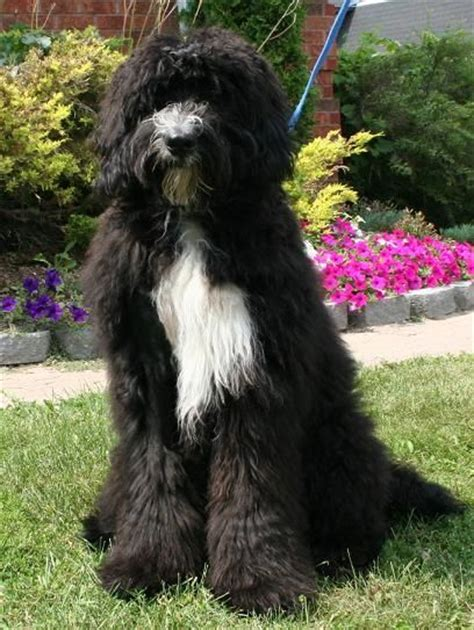 bernese mountain and poodle the bernedoodle a bernese mountain and standard poodle mix big dogs