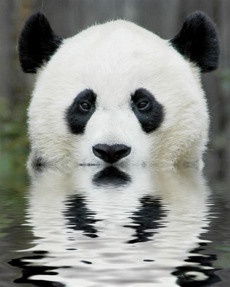 images of panda bears 301 moved permanently