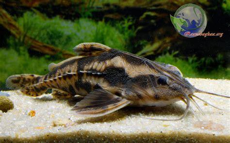 giant raphael catfish