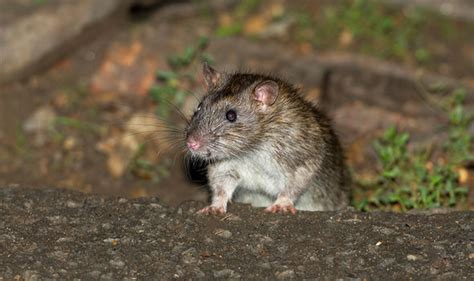 how to get rid of rats in the garden for good and why