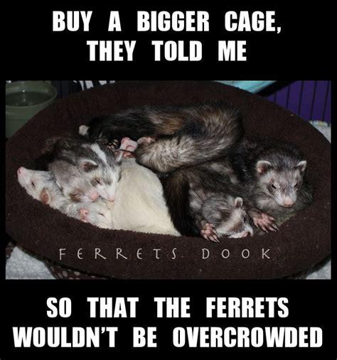 Ferret Meme - 686 best ferret love images on pinterest ferrets funny