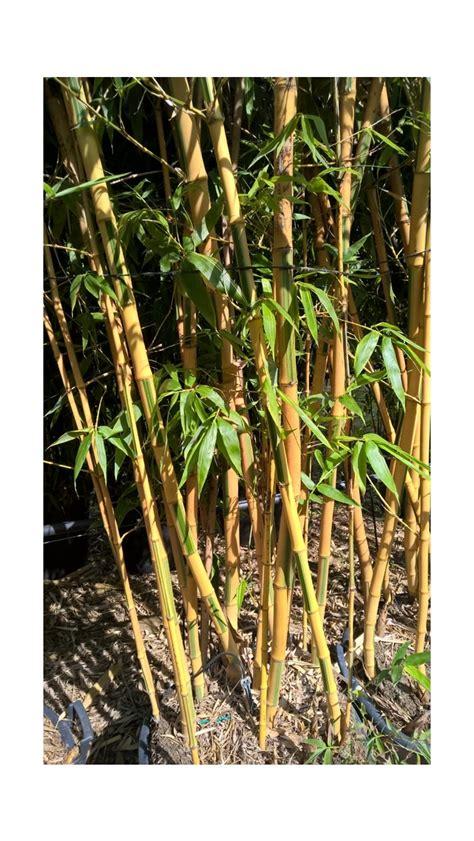 Vasi Per Bamboo by Vasi Per Canne Di Bamb