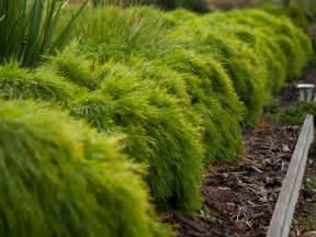 Design Vertical Garden - river wattle acacia cognata limelight