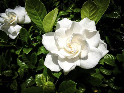 spotless frostproof gardenia  fast growing flowering