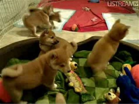 puppy cams the best puppy cams on the whole barkpost