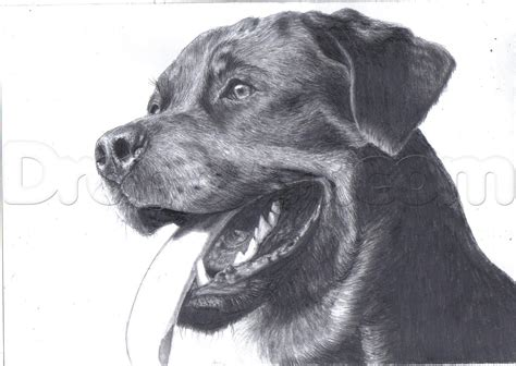 rottweiler drawings how to draw a realistic rottweiler step by step pets animals free drawing