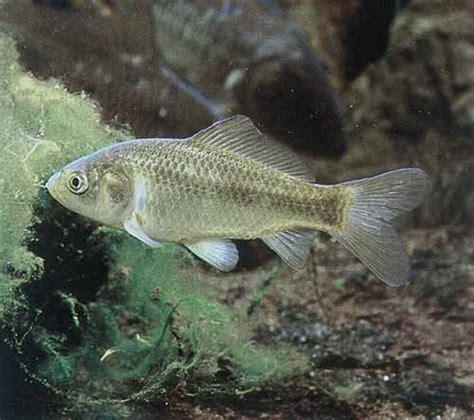malattie portate dai gatti pesce rosso molto pi 249 di una semplice boccia lacooltura