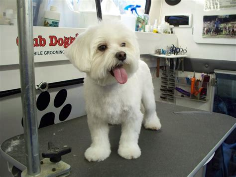 maltipoo puppy cut club doggie mobile grooming salon photo gallery