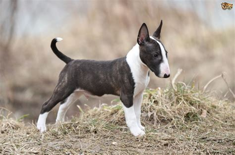 puppy bull terrier bull terrier breed information buying advice photos and facts pets4homes
