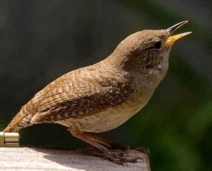 house wren bird house wren identification all about birds cornell lab of ornithology