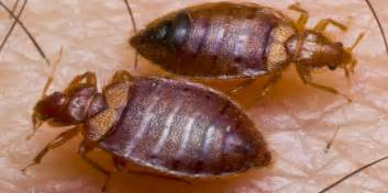 where do bed bugs come from how to identify bed bugs