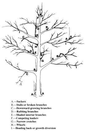 Backyard Growers Pruning A Mature Apple Or Pear Tree The Modern Gardener