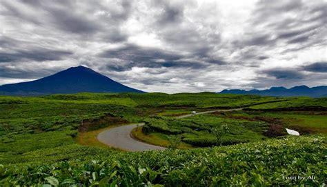 Teh Organik teh organik indonesia yang mencuri perhatian dunia