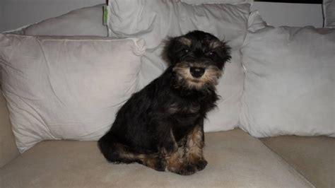 schnauzer yorkie mix miniature schnauzer yorkie mix for sale in hamilton ontario pets