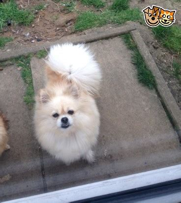pomeranian puppies for sale in amarillo tx pomeranian for sale pomeranian puppies available for re homing breeds picture