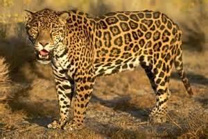 Jaguar Cat Wiki Carnivores