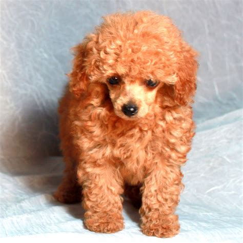 different styles of hair cuts for poodles teddy bear cut grooming styles for poodles scarlet s