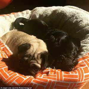 entropion in pugs pugs will tie the knot in charity wedding complete with dress and event designers