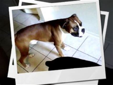 boxer puppies for sale jacksonville fl boxer puppies in florida
