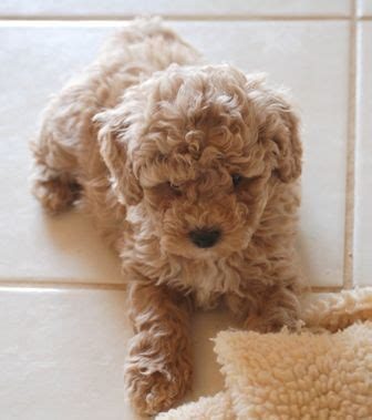 goldendoodle puppy weight gain 1000 ideas about golden labradoodle on