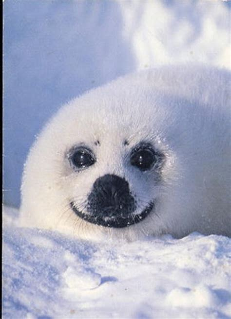 baby seal pup baby seal pup smiling beautiful creatures 1