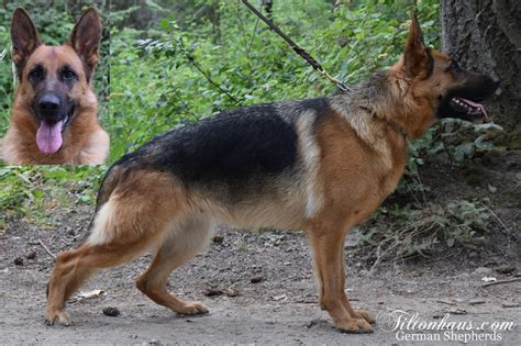 german shepherd puppies washington akc german shepherd puppies for sale in spokane washington in hoobly classifieds