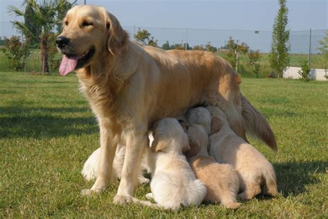 can dogs periods puppy benchmarks critical periods in puppy development gun magazine