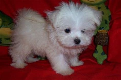 maltipoo puppies for sale in oklahoma 17 best ideas about teacup maltipoo on maltipoo puppies small dogs