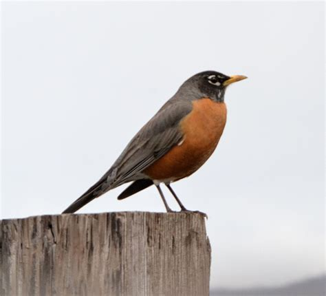 american robin the nature niche